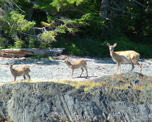 Sitka blacktail deed often congregate on smaller islands to escape from wolves.