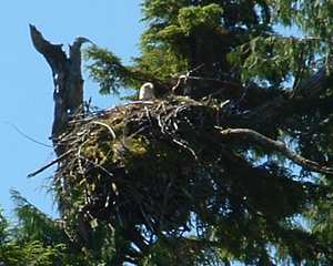 There are more than 40 eagles nests within a few miles of Ketchikan.