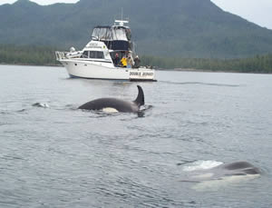 Orcas have no fear of boats.
