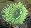 Sea Anemones attract prey with their beauty